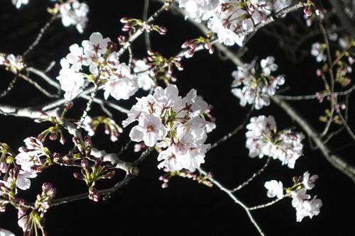 2019_Cherry_Ushigomebori_02